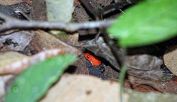 Blue Jean Dart Frog-so small