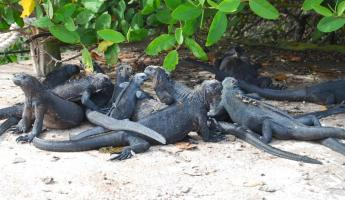 Marine Iguana convention on Santa Cruz Island