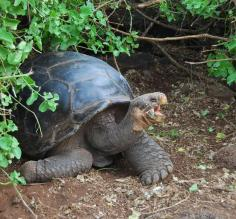 The late Lonesome George in the Galapagos