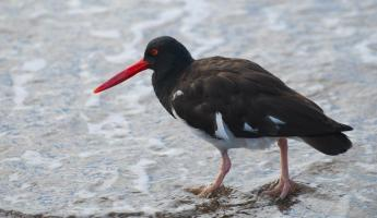 American oyster catcher wading as he looks for food