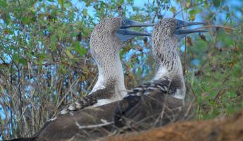 Blue footed boobie pair cooling off