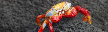 Colorful Sally Lightfoot crab on volcanic rock
