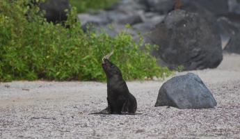 Sea lion playing with a stick in the Galapagos