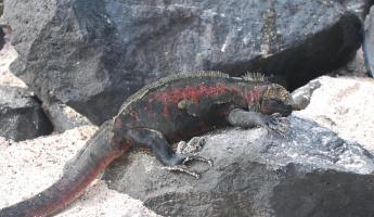 Marine iguanas have great camouflage on the island.