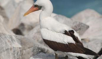 The beautiful white Nasca boobie