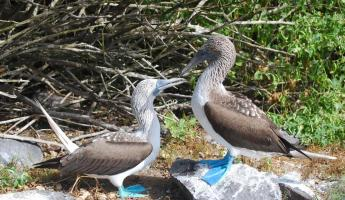 Blue-footed Boobies engaged in their famous mating ritual