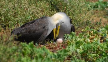 A pair of waved albatross admire their freshly-laid egg in the Galapagos