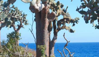 Cactus trees on Santa Fe Island