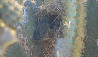 cactus finch and babies on Santa Fe
