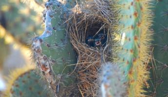 Hungry Cactus Finch babies waiting for mom