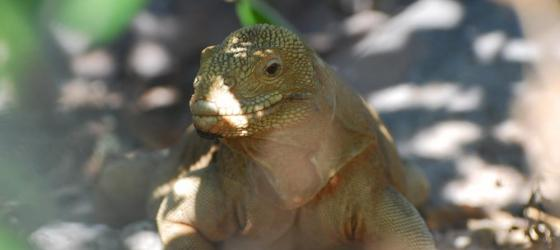 Golden Land Iguana on Santa Fe Island