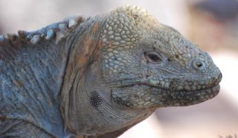 This close up shows the iguana's molting skin