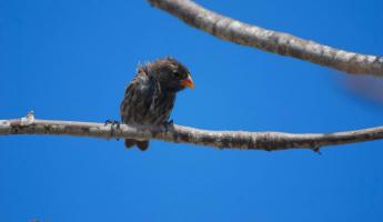 small tree finch on Santa Fe and the deep blue sky