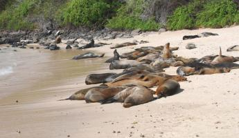 A colony of sea lions in the Galapagos