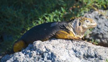 the golden color of this iguanas comes from the cactus fruit