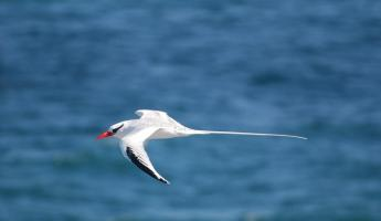 Red billed tropic bird in flight