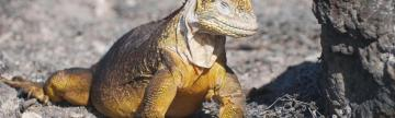 The land iguana has adapted to the dry conditions in the Galapagos