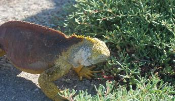 Land iguana eating the purslane flower