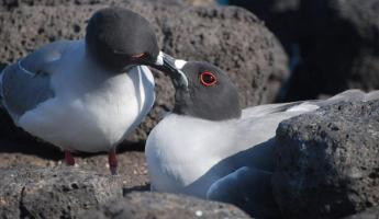 swallow tailed gull pair