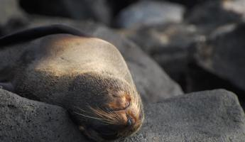 A fur seal stretches out on volcanic rock