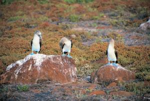 See Blue-footed Boobies on your trip to the Galapagos