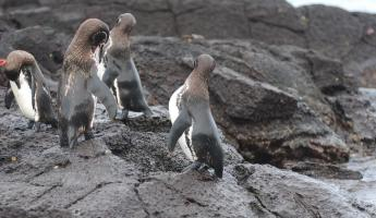 Galapagos penguins practicing their dance routine