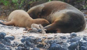 Mom nursing pup near volcanic rock