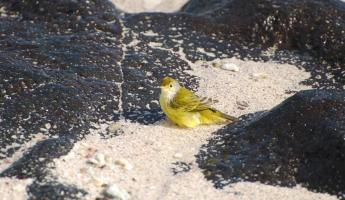 I think the yellow warbler is a sign of luck