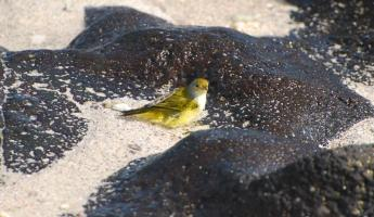 yellow warbler taking a bath near the volcanic rocks