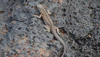lava lizard, looking identical to the volcanic rock