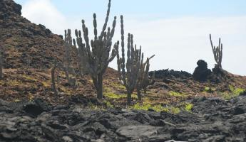 Tall cacti trees and the lunar landscape