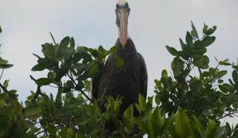 Getting a look from a pelican in the Galapagos