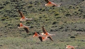 Flamingos in flight...never seen that before!