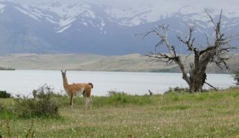 A guanaco poses for a picture in Torres del Paine National Park