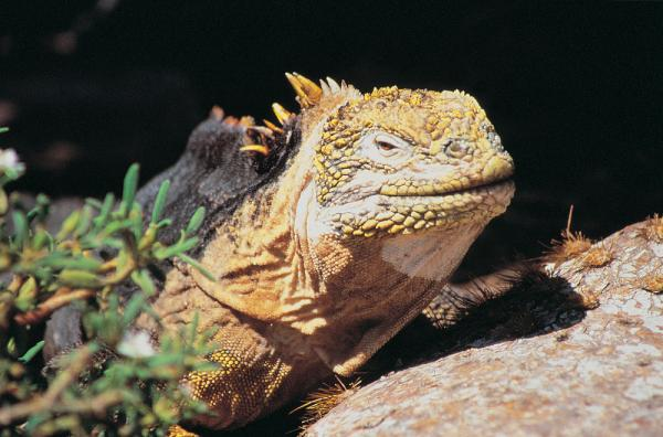 Iguana found during a Galapagos wildlife cruise