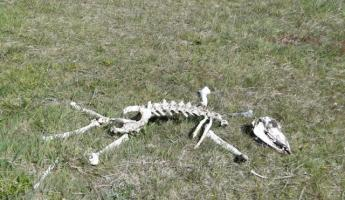The circle of life - baby guanaco bones