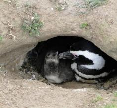 Mama & baby Penguin burrowed in the ground