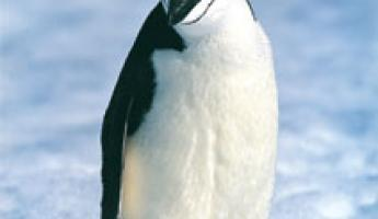 Sole Penguin looking for the group
