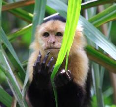 Capuchin monkey in the Costa Rican rainforest