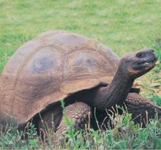 Galapagos tortoise on a wildlife tour in the Galapagos Islands