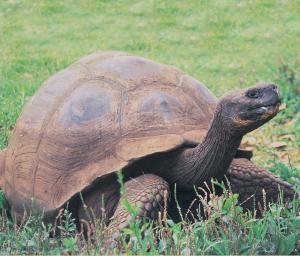 Ten sub-species of giant tortoises exist in the wild. The 11th species has one remaining survivor, Lonesome George, who resides at the Charles Darwin Research Station.