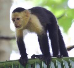 Capuchin on palm leaf