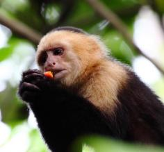 Capuchin enjoying a snack in the rainforest canopy