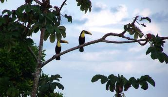 Pair of toucans in a tree at Pacuare