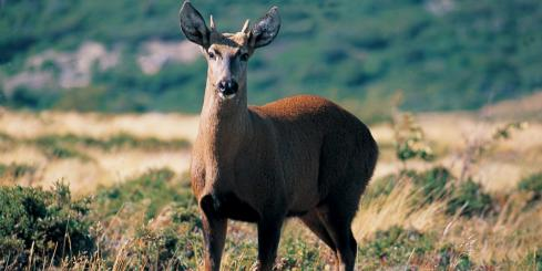 South Andean deer spotted on a Chile adventure tour