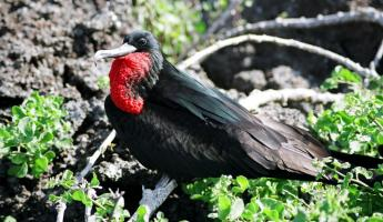 Spot colorful male frigate birds on your Galapagos tour!