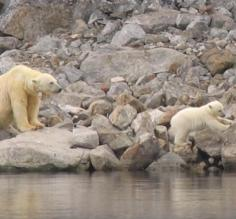 Polar Bear and Cub, Spitsbergen
