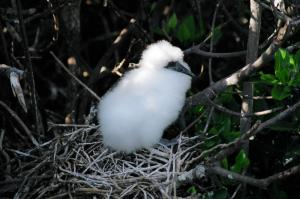 Frigate chick sitting in its nest in the Galapagos