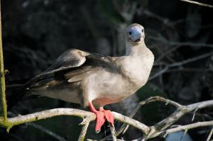 See Red-footed Boobies on your trip to the Galapagos