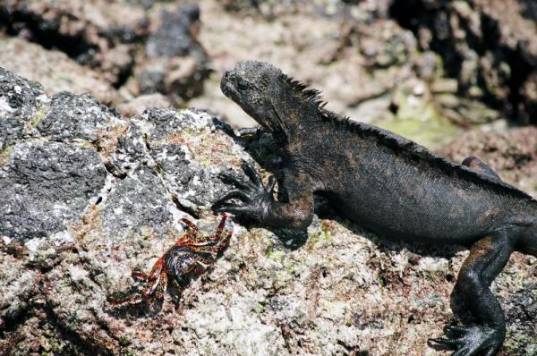 Iguana soaking up the sun on Santa Cruz Island in the Galapagos
